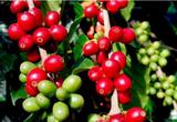 Giá xuất khẩu cà phê của Việt Nam sẽ còn tăng đến đâu?