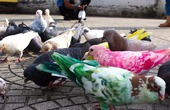 Tô màu lên mình chim bồ câu là gián tiếp hại chúng?