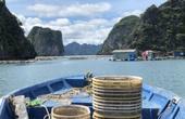 Mùa thu hoạch ngao buồn của ngư dân Vân Đồn