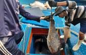 Bình Định: Cận cảnh dân bắt được toàn loài cá khủng sau chuyến đi biển xuyên Tết