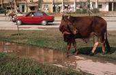 Bò chạy đường