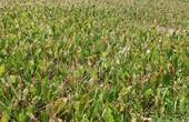 Nông dân méo mặt vì khoai sáp mất mùa kép