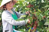 Liên kết với nông dân làm cà phê sạch, khó mấy cũng làm!