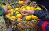 Cận cảnh: Nhỏ nước miếng ngắm quýt vàng Bắc Sơn từ cây xuống chợ