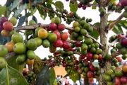 """Cây cà phê đánh thức """"đất vàng"""" Mai Sơn sản sinh những triệu phú"""