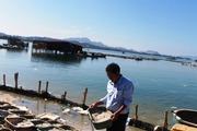 Nuôi hàu sữa treo giàn ở Khánh Hòa hiệu quả nhân đôi