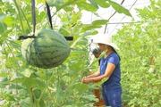 """Chàng """"9X"""" trồng dưa lưới hiệu quả trên vùng đất đỏ"""