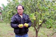 Trồng 4 năm thu trái mới biết cam dại, nông dân nhận trái đắng