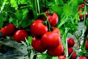 """Lạ kỳ cách trồng cà chua """"thái miếng"""" chỉ mất vài phút, sau được cả vườn cà chua sai trĩu"""