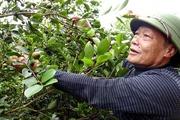 Trồng cây sở, được cả rừng lại thu trăm triệu nhờ bán quả