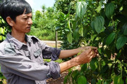 Người trồng hồ tiêu đứng trước nguy cơ mất mùa, rớt giá do ảnh hưởng thời tiết bất lợi