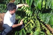 Nghiên cứu thành công giống cà phê mới, mỗi vụ cho 10kg nhân tươi/cây