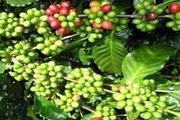 Giá cà phê đã tăng nhưng thị trường bấn loạn vì chi phí