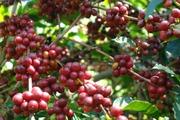 """Cà phê tăng vọt trong bất ổn, giá tiêu đối mặt với """"rào cản"""" mới"""