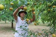 Quýt vàng Bắc Sơn cây tiền tỷ của huyện nghèo biên giới