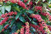 Cà phê tăng vội, thị trường lo ngại hụt nguồn cung