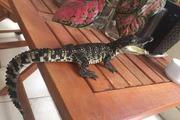 """Rộ """"mốt"""" nuôi cá sấu làm cảnh ở Hà thành"""