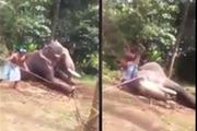Clip sốc: Đánh gãy chân voi để thuần hóa phục vụ khách du lịch