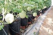Vườn dưa lưới công nghệ cao đầu tiên ở An Phú