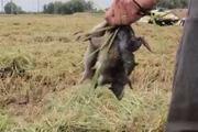 Độc đáo máy gặt lúa bắt hàng trăm con chuột ở Đồng Tháp Mười