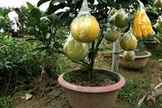 Kỹ thuật chiết cành và trồng bưởi trong chậu