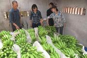 Chuối tiêu hồng Khoái Châu, doanh nghiệp cần mua, nông dân thiếu vốn
