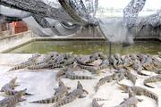 Rớt giá thê thảm, hàng vạn con cá sấu bị bỏ đói, nguy cơ vỡ nợ