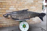 Cá trắm đen nặng 41 kg dài 1,5m trên sông Đà