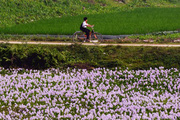 Hoa lục bình tím mùa hạ