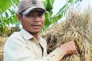 Lúa gạo vẫn manh mún từ đồng ruộng
