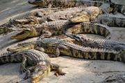 """Giá cả thị trường hôm nay: Cá sấu chỉ còn 65.000 đồng/kg, người nuôi cũng mong """"giải cứu"""""""