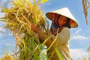 Hạt gạo Việt thấm đẫm mồ hôi trên cánh đồng nắng cháy