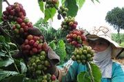 Giá nông sản hôm nay (23.7): Hồ tiêu tăng nhẹ, cà phê vượt ngưỡng 46.000 đồng/kg