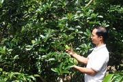 Trồng thử 300 cây bơ Cuba xen cà phê, ai ngờ mỗi năm thu tiền tỉ