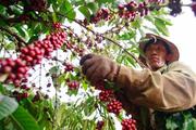 Giá nông sản hôm nay (17.7): Giá cà phê dự báo tiếp tục tăng nóng trong tuần này
