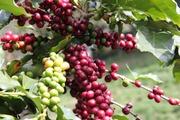 Giá nông sản hôm nay (15.7): Cà phê tăng vọt 46.000 đồng/kg, hồ tiêu gian nan