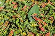 Giá nông sản hôm nay (29.9): Hồ tiêu tăng vọt 86.000 đồng/kg, cà phê chưa hết khó khăn
