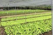 """Người tiêu dùng """"mù mờ"""" giữa rau an toàn và rau hữu cơ"""