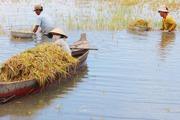 Nông dân Đồng Tháp Mười ngâm mình trong nước gặt lúa chạy lũ