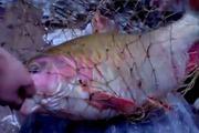 Cá quý hiếm khổng lồ lọt lưới cần thủ trên thượng nguồn sông Đà