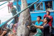 Kỷ lục cá ngừ vây xanh quí hiếm từng đánh bắt được ở biển Việt Nam