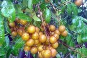 Cách phân biệt quả nhãn quê chín cây vớinhãn xử lý chất bảo quản
