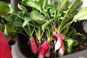 Trên ban công 3m² tại Nhật, mẹ trẻ người Việt trồng đủ loại rau quả sạch