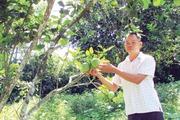 Phát hiện cây bưởi hoang, chiết ghép thành vườn bưởi cho trái thơm ngon