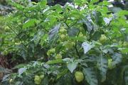 Vườn rau sạch xanh mướt trong biệt thự ngoại ô 2ha của ca sĩ Việt Hoàn