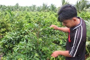 Nhờ bí quyết trồng mai xen dừa, thầy giáo thu tiền tỉ mỗi năm