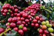 Cà phê thất thường, giá hồ tiêu tiếp đà lao dốc