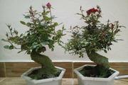 Thú chơi hồng bonsai đắp rêu, ngày Tết giá tiền triệu vẫn cháy hàng