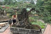 Choáng với siêu cây cảnh Hà Nội, giá triệu đô đổi ngang 8 lô đất