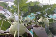 Kinh nghiệm trồng su hào nặng gần 1kg mỗi củ trên sân thượng của cô gái Sài thành